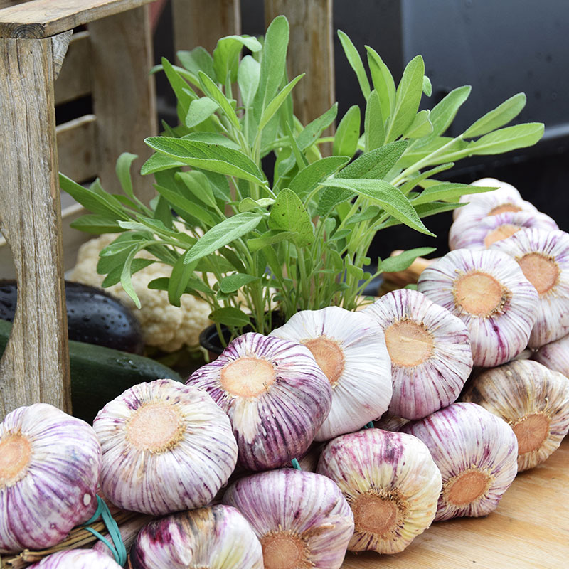 Garlic Bulbs and plant